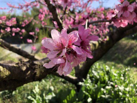桃のピンク