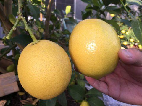 磨けば光る県産レモン