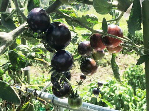 京都野菜耕房トマト
