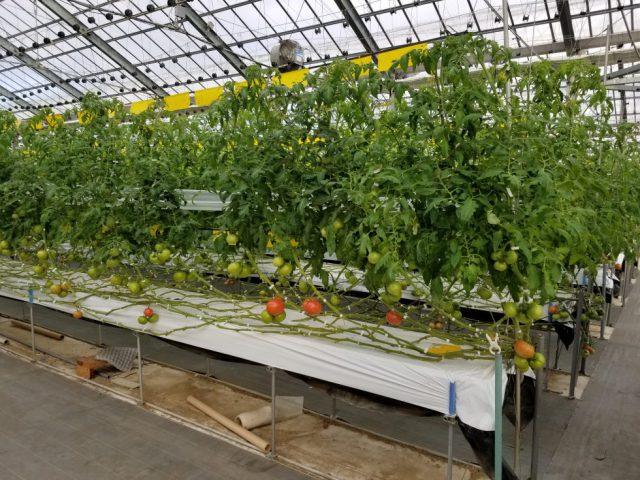 JA豊橋トマト部会 産地を訪問いたしました