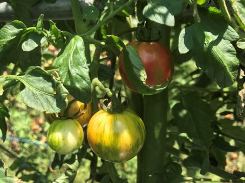 京都野菜耕房 トマト