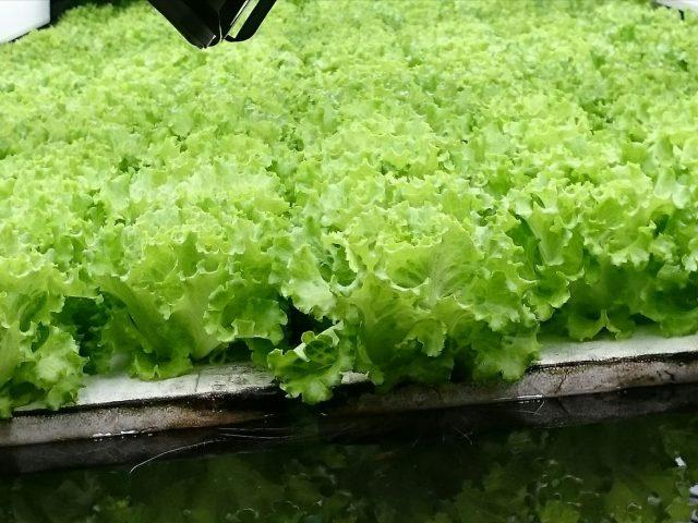 工場の中にレタス畑?!完全人工光型水耕栽培視察レポート