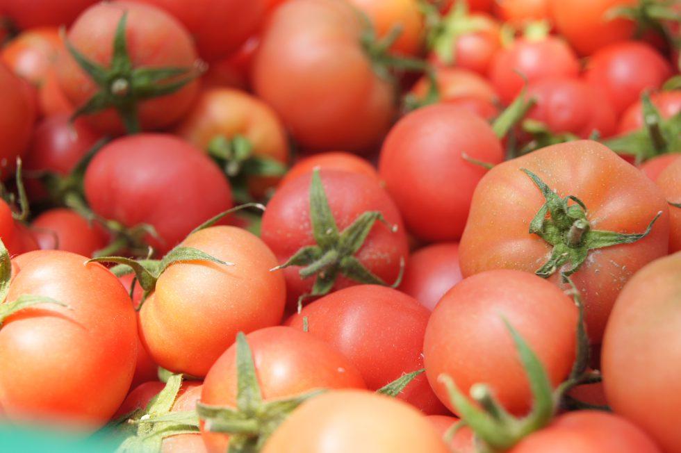 まるでブドウ棚?! 水平放任栽培で育つトマト