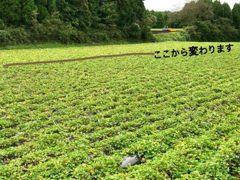 サツマイモ畑