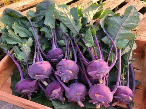 紫コールラビ
