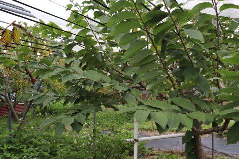 アテモヤの木