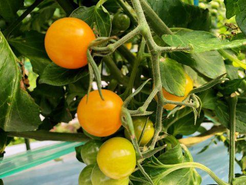 ミニトマト オレンジキャロル