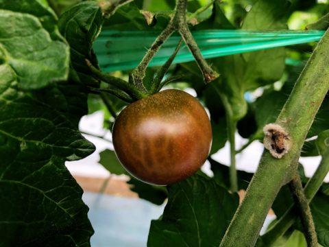 ミニトマト トスカーナバイオレッド