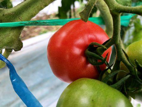 トマト セレブスイート