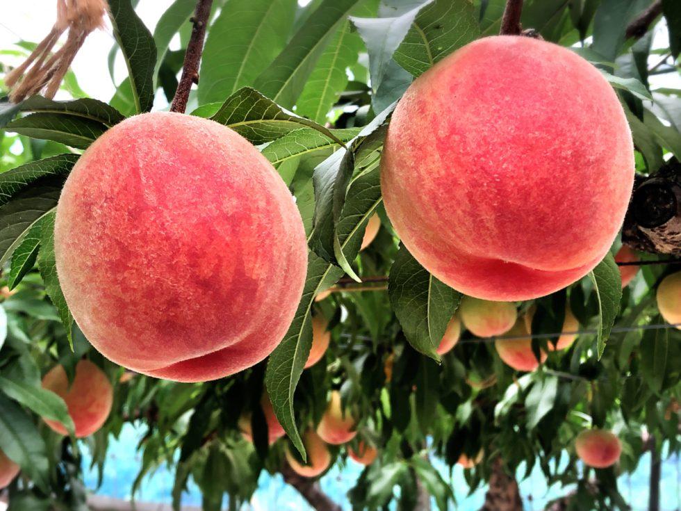 園長先生と桃の木が生んだ、愛らしさいっぱいの桃