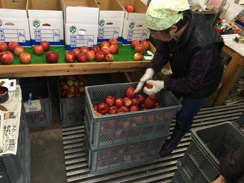 りんご 選果場