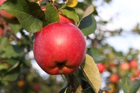 りんご おしり