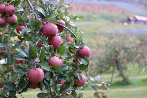 りんご 昴林