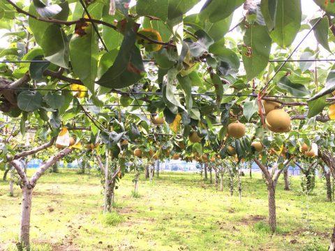 保谷梨 梨畑