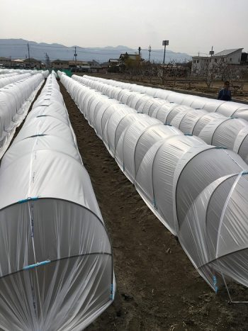一重トンネル栽培