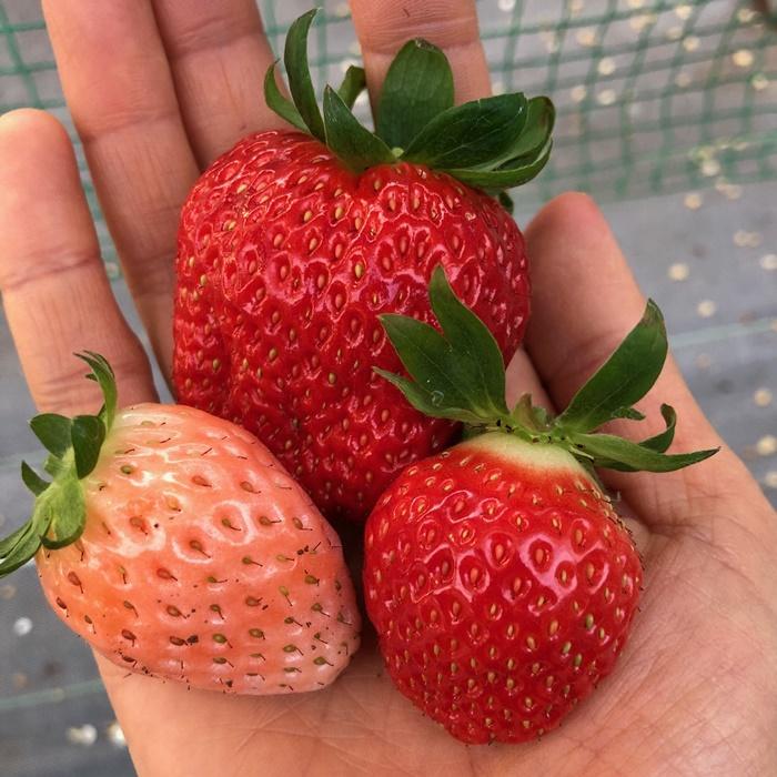 紅白いちごを食べ比べ!「グルメいちご館前田」