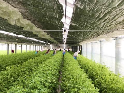 日本一の大葉の産地、豊橋温室園芸農協