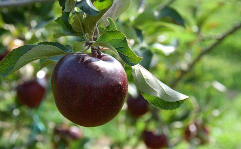 まつの果物ニュース│国産りんご年内の見通しについて