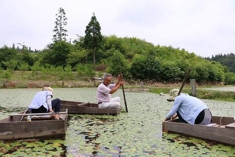 秋田の夏の風物詩「じゅんさい」の知られざる魅力