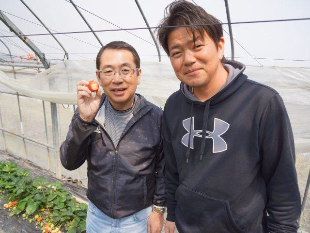 さがほのか一筋!土耕栽培で育つ高品質のいちご