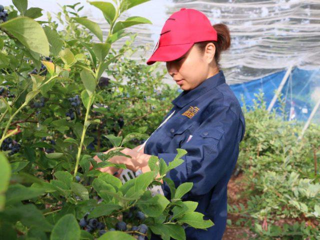 【ふるさと納税産直便】まつの産地応援隊がブルーベリー100キロの収穫を応援