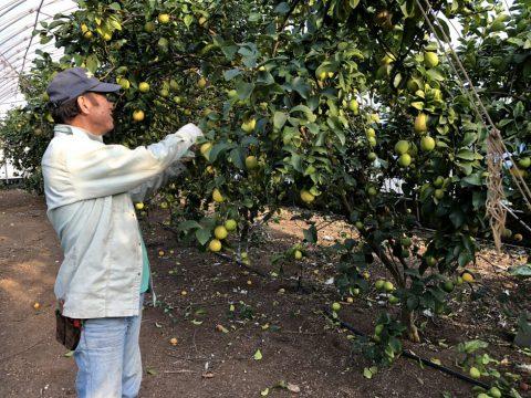 レモン生産者