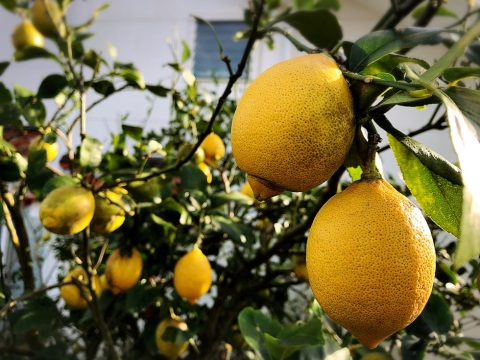露地レモン
