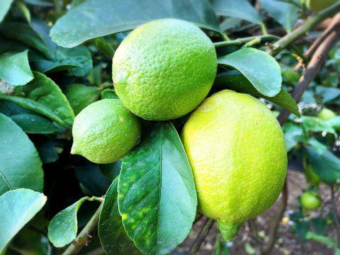 ハウスレモン