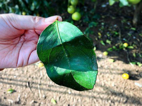 レモンの葉