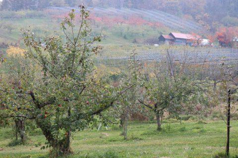 りんご 果樹農場