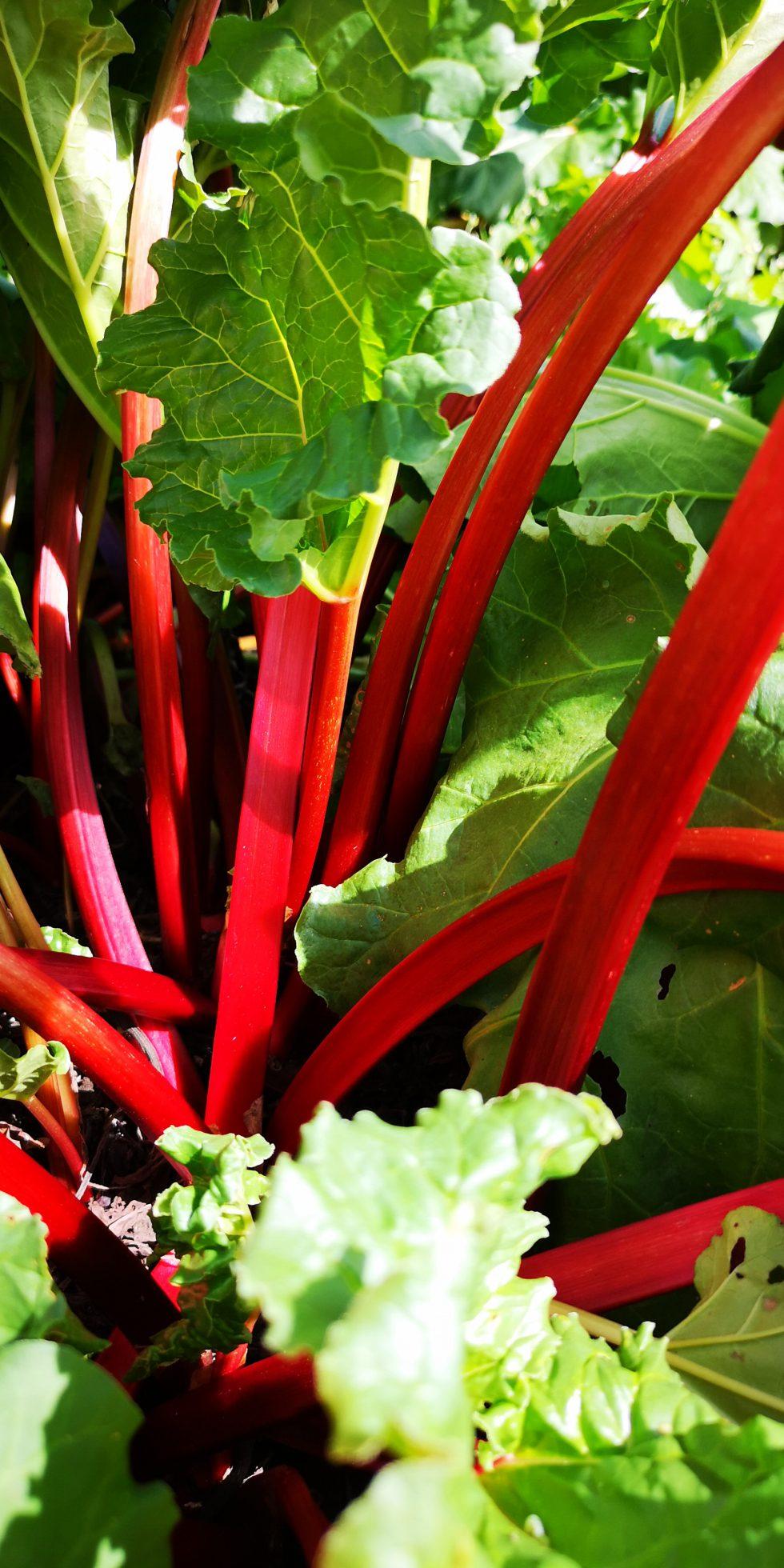 ルビー色に輝く高原野菜「赤ルバーブ」