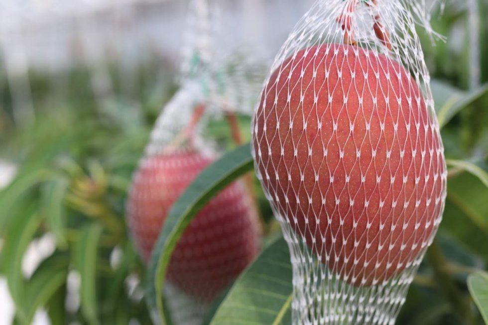 十勝の冬マンゴー「白銀の太陽」収穫スタート!