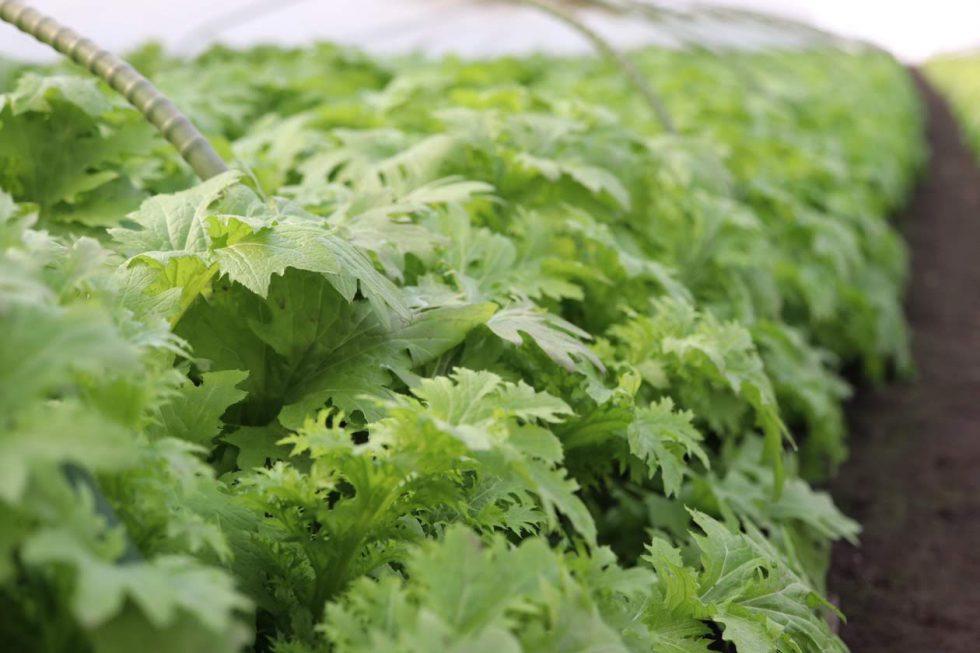 真冬が最盛期!伊達野菜「わさび菜」