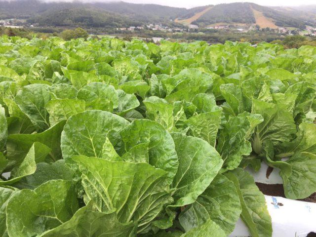 【菅平高原】初霜が降り、白菜に甘みがのってきました
