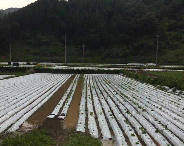 「川上村 干ばつによるレタスへの影響(後編)」提携産地レポート更新