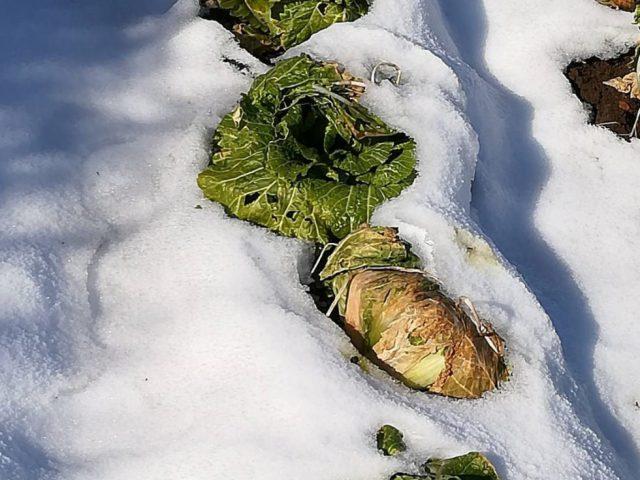 寒波による大型野菜不作について
