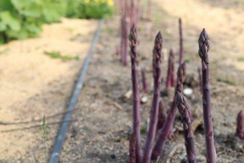 紫アスパラガス